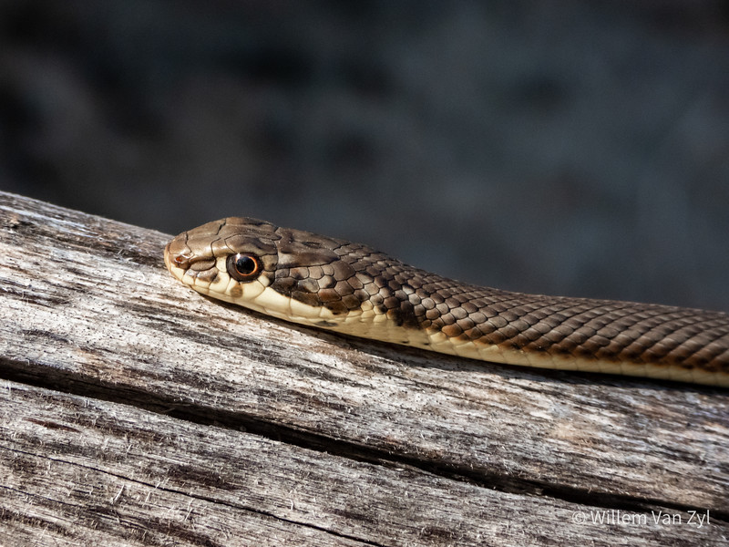 20191005 Karoo Sand Snake (Psammophis notostictus) from Parklands, Western Cape