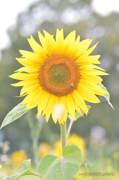 Sunflower Lonay_20092020 (85).JPG
