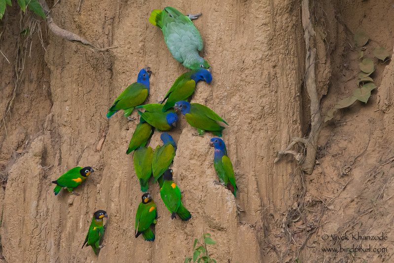Blue-headed, Orange-cheeked and Mealy Parrots - Tambo Blanquillo Clay Lick, Manu Biosphere Preserve, Peru