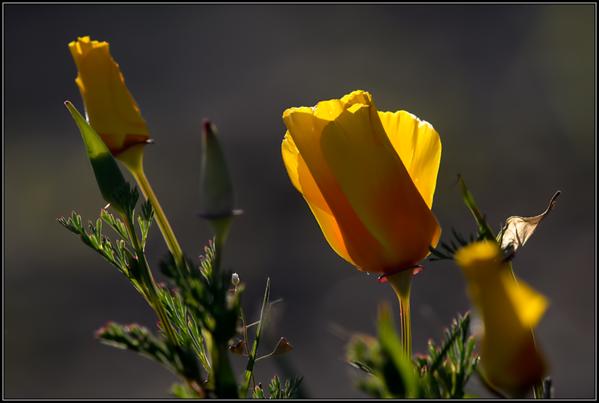 Slaapmutsje/Californian Poppy