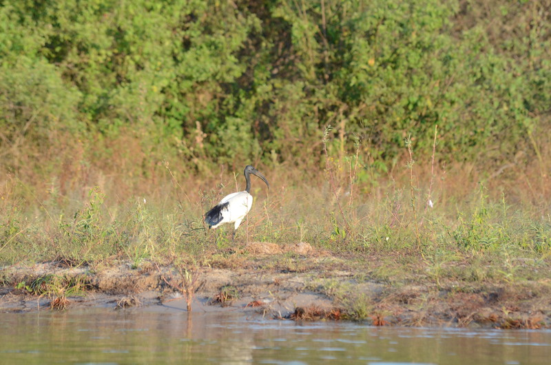105 - Sacred Ibis - Zambia - Anne Davis