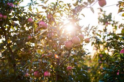 September - Apples