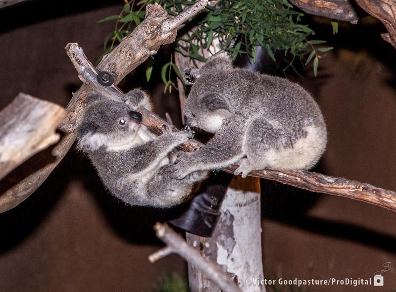 Koalafornia-44.jpg