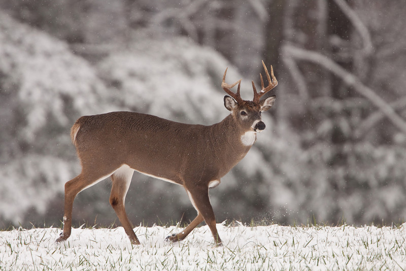 White-tailed buck running in snow.