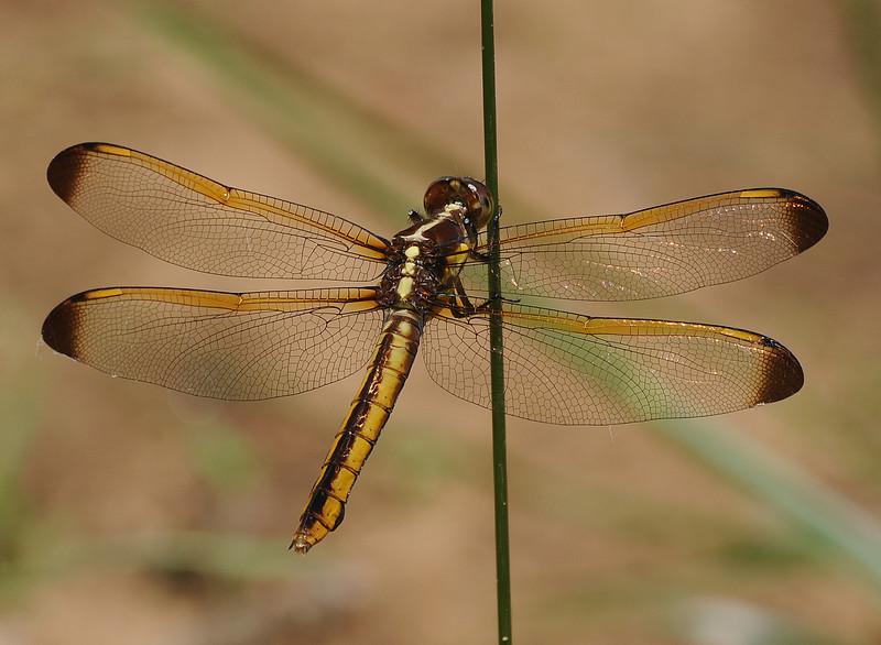 Libellula flavida (Yellow-sided Skimmer)