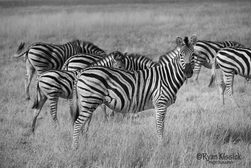 Zebras: Rocking black and white since the dawn of time