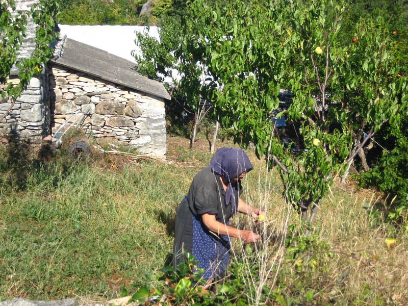 2011 0907 picking pears.JPG