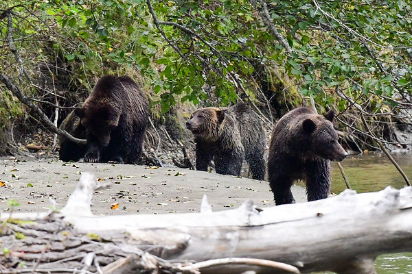 9-28-19 Grizzlly Bears Part 2 of 5 Bella Coola