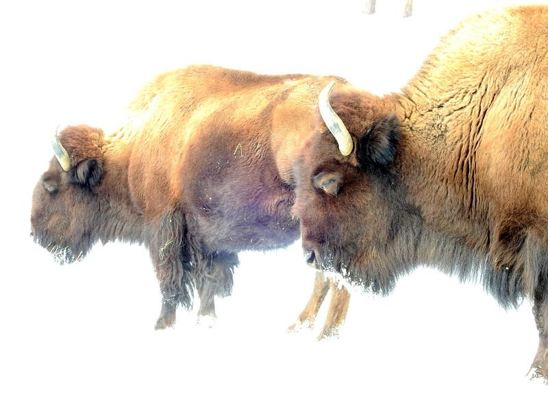 Buffalo (23).JPG