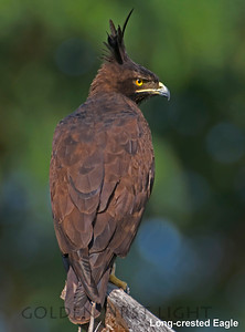 Long-crested Eagle, Kenya