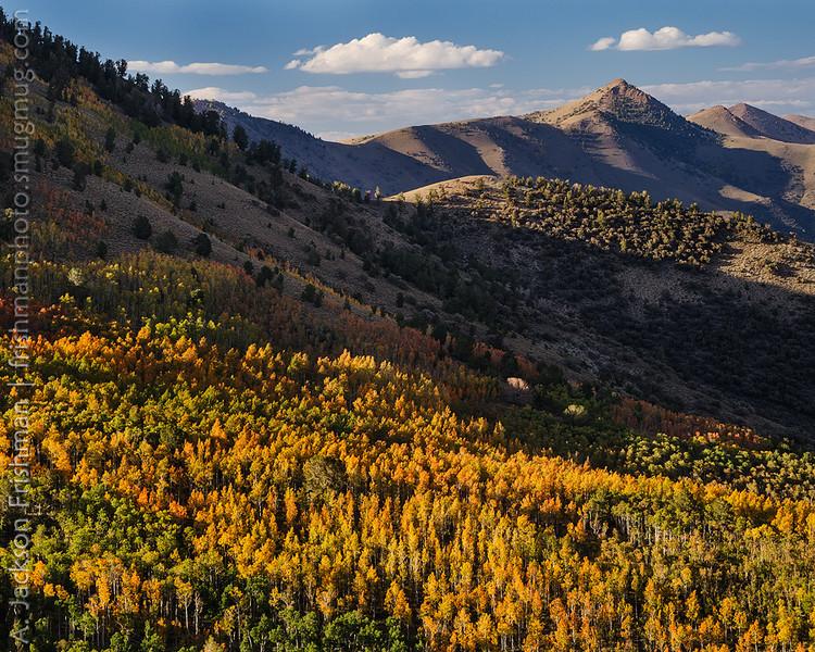 Fall aspens in Nevada's Toiyabe Range, September 2013.