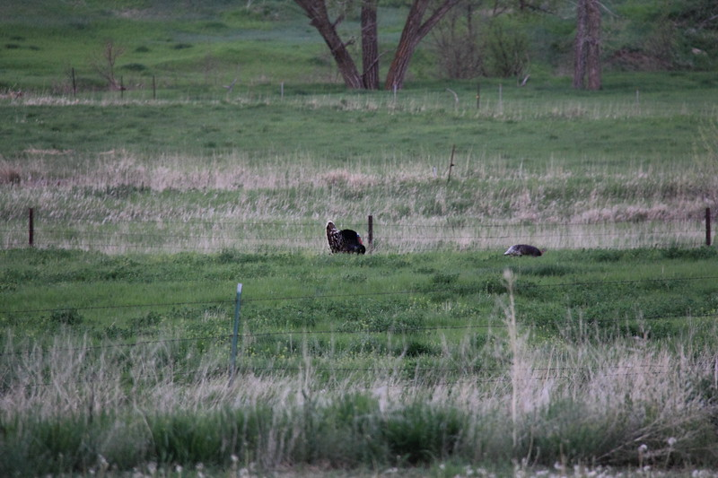 20140523-183-TriangleRanchBB-WildTurkey.JPG