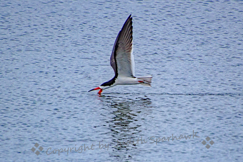 Black Skimmer Skimming - Judith Sparhawk