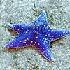 blue star coronado