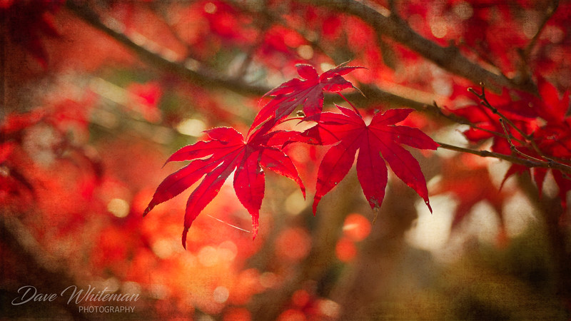 Maple in Autumn
