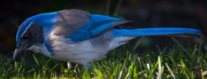 Blue Jay-7641.jpg