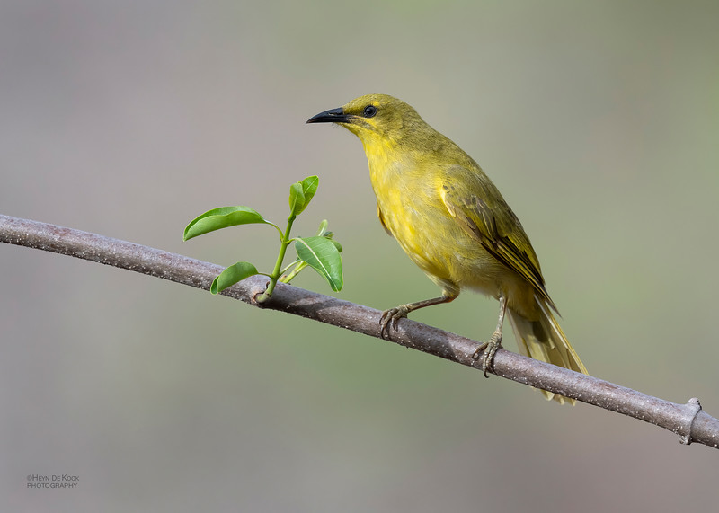 Yellow Honeyeater, Woodstock, QLD, Jan 2020-4.jpg