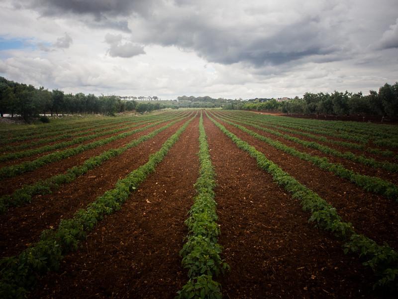 calemone tomatoe field 2.jpg