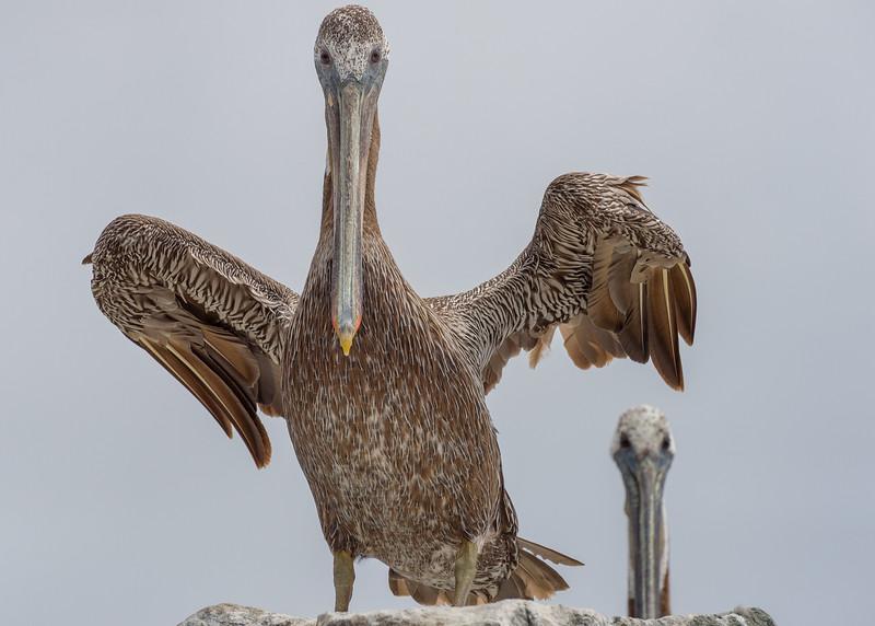 Brown pelicans (Pelecanus occidentalis), Half Moon Bay, California