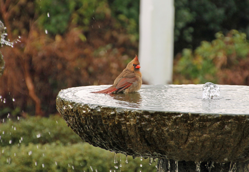 Cardinal in fountain