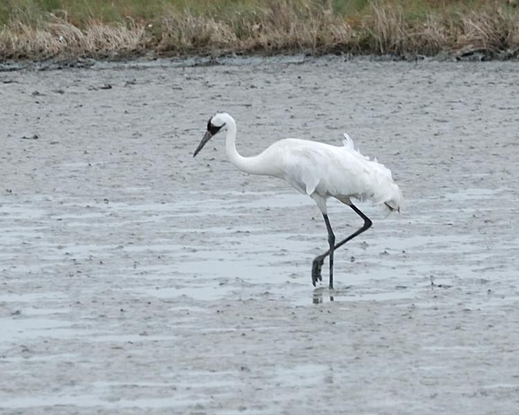 Whooping Crane - Aransas Pass Wildlife Refuge; looking for blue crabs