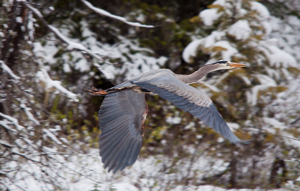 Herons & Cranes
