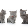 Three gray kitten