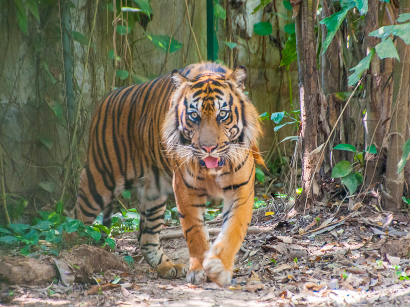 Bali Zoo_Tiger-1.jpg