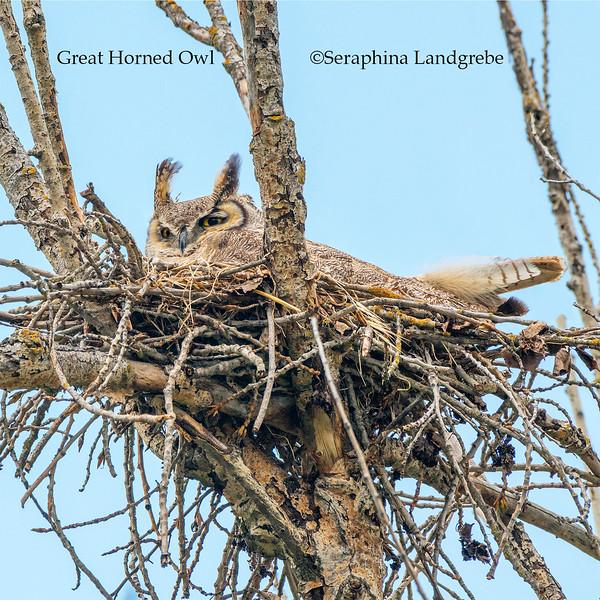 2._DSC7069Nesting Great Horned Owl copy.jpg