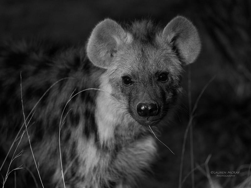 Spotted Hyena, b&w, Mashatu GR, Botswana, May 2017-3.jpg