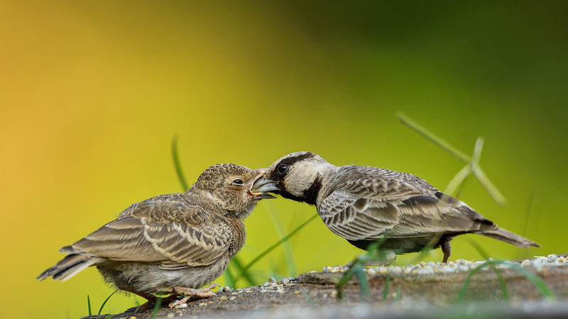 Ashy-crowned-sparrow-lark-feeding-chick-seq-03.jpg