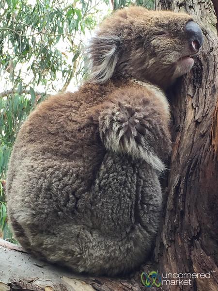 Sleepy Koala at Kennett River - Great Ocean Road, Victoria
