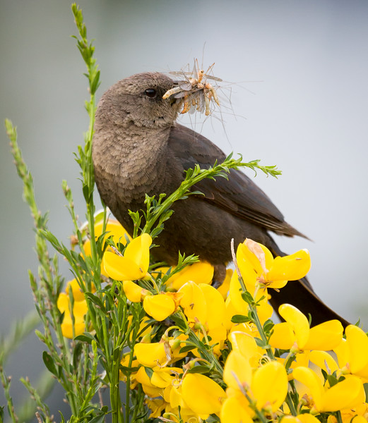 I like this guy's perch on a batch of flowering Scotch Broom with a mouth full of yummy bugs.<br /> <br /> Location: Hood River, Oregon<br /> <br /> Lens used: Canon 100-400mm f4.5-5.6 IS