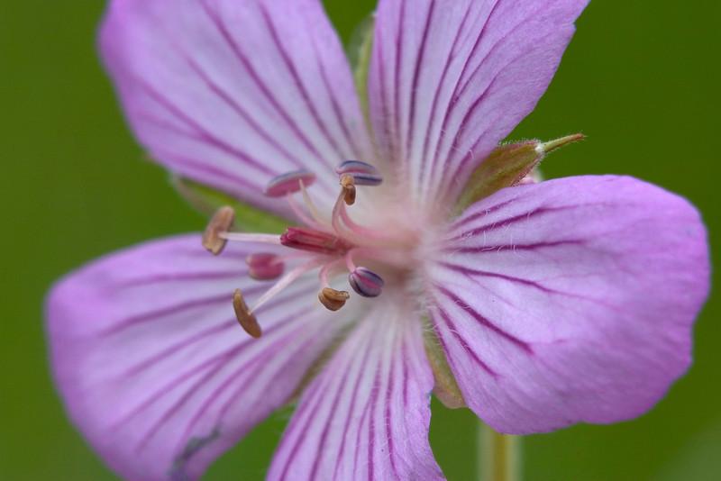 wild geranium.jpg
