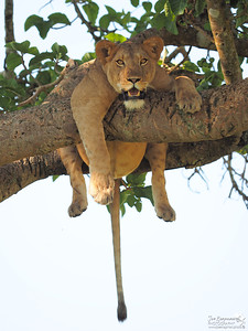 Lioness hanging free
