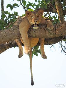 Lioness hanging free