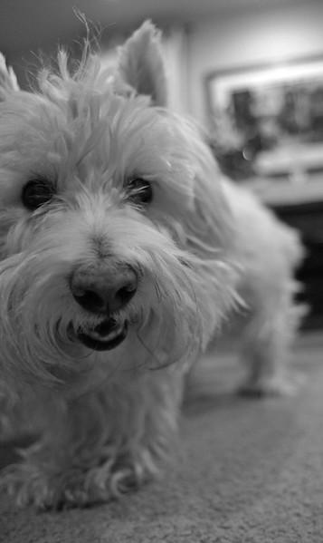 Winston the Westie
