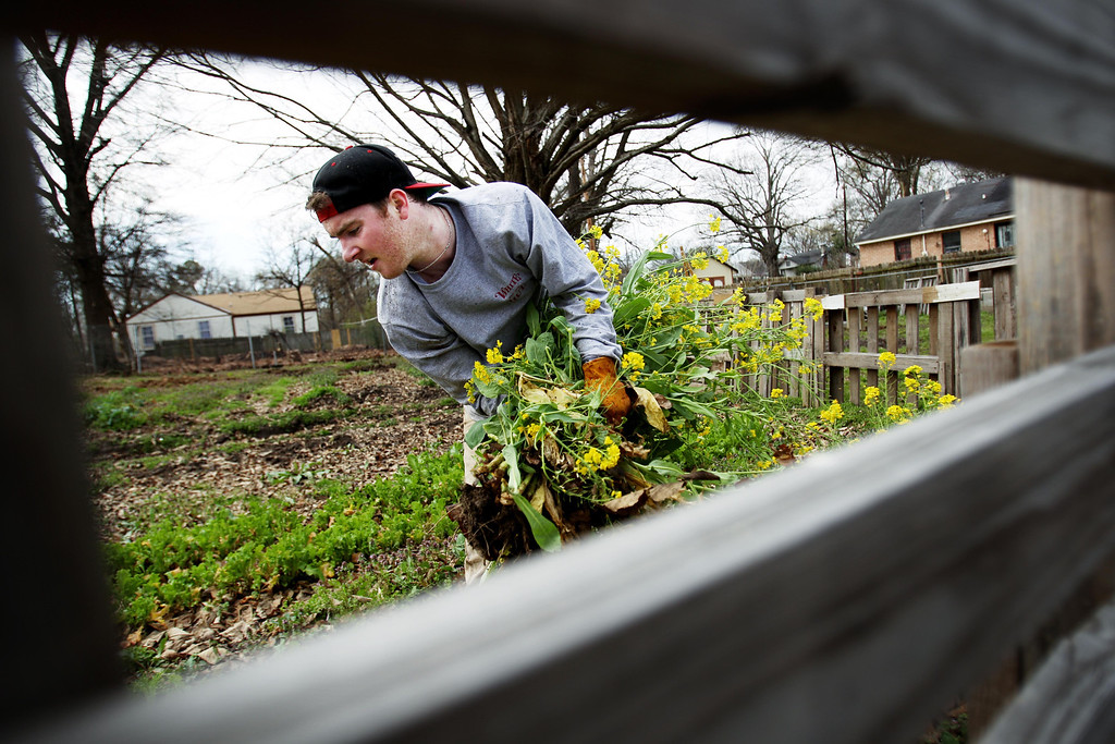 . In this photo taken Tuesday, March 19, 2013, UMass Amherst senior Dan Rossell pulls weeds in a community garden at the corner of Bingham and Ogden in Memphis, Tenn., while volunteering with nine other students that made the 22-hour drive to Memphis to spend their spring break volunteering for GrowMemphis. The students are all part of Social Justice class at the university and are one of five groups that have scattered around the country to learn more first hand about issues they have studied in the classroom. (AP Photo/The Commercial Appeal, Mike Brown)
