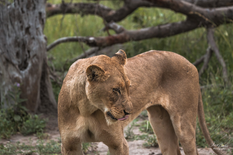 Lion_2067.jpg