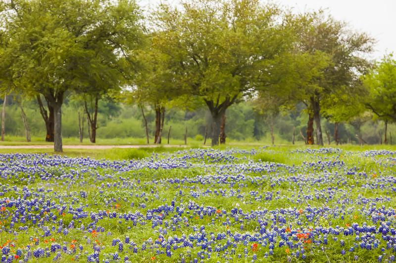 2015_4_3 Texas Wildflowers-7762-2.jpg