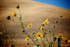 Wild Flowers - Pacheco Pass, Hollister, California, USA