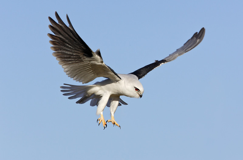 Black-shouldered Kite 1.jpg