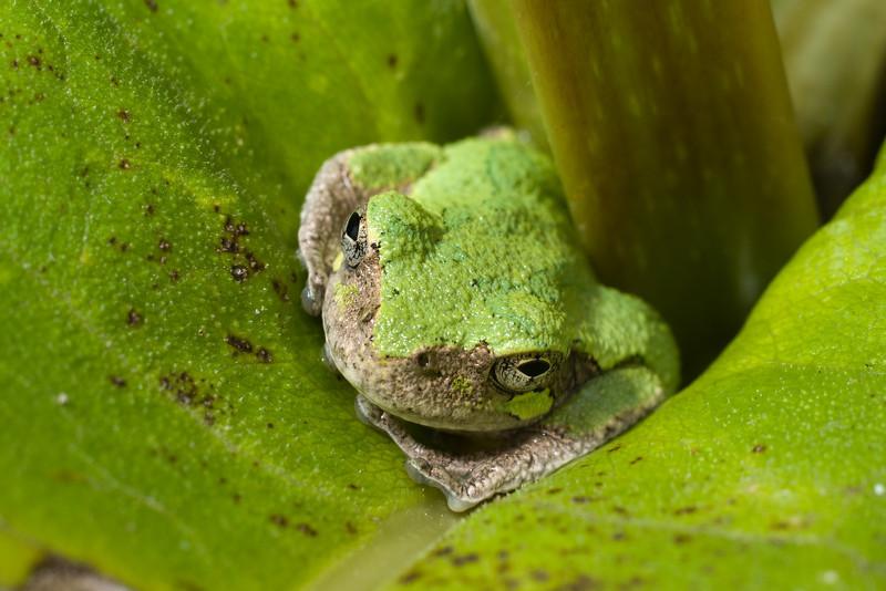 Gray Treefrog D7076