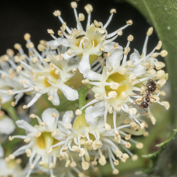 Ant (Prenolepis imparis?) on blossom of holly-leaf cherry