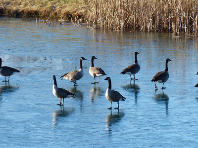 20121127 Canada Goose