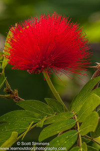Powder Puff Tree Flower