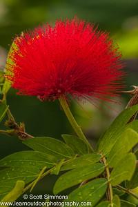 Powder Puff Tree Flower