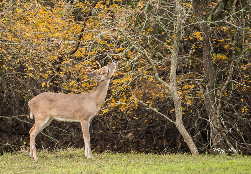 Buck youngster fall_DWL2330.jpg