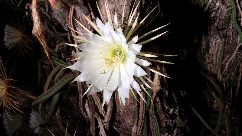 12_28_19 Night Blooming Cereus Growing On Palm Trees.jpg