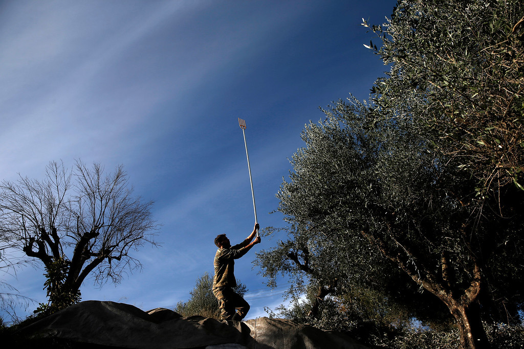 . In this Thursday, Nov. 28, 2013 photo, Dimitris Apostolopoulos, collects olives at an olive grove in Velanidi village, 320 kilometers (200 miles) west of Athens. Plans to extend a brutal efficiency drive to olive oil production in Greece have been met with anger and disbelief. If proposals from a government funded study are adopted, olive oil blended with cheaper vegetable oils will soon go on sale as part of an effort to modernize Greece\'s economy, which was rescued from near bankruptcy four years ago. (AP Photo/Petros Giannakouris)